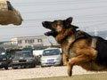 组图:实拍警犬训练过程