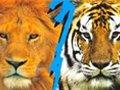 狮子PK老虎