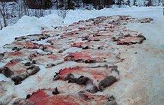组图:挪威一幼儿园组织孩子看屠宰现场引发争议