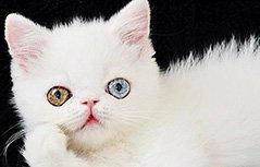 国外蓝绿异瞳猫咪走红网络