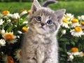 (网友投稿)可爱的小花猫