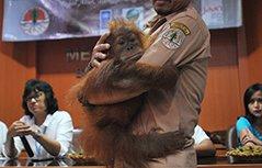 印尼猩猩宝宝搬新家 环抱饲养员胳膊超黏人
