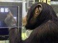 猩猩记忆力胜大学生