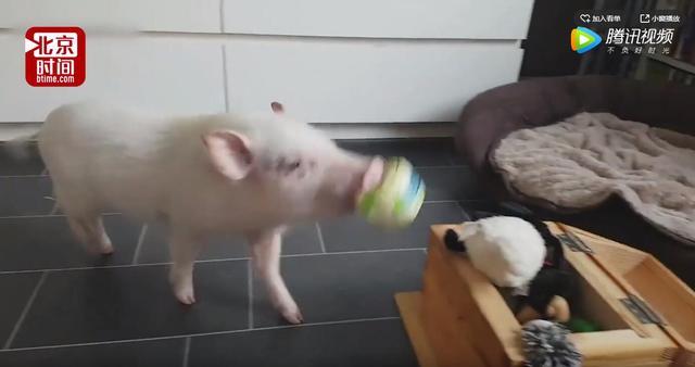 超萌!小猪当保姆帮熊孩子收拾玩具