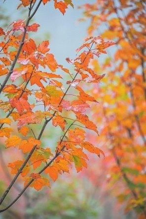 峨眉山 又到漫山红叶时