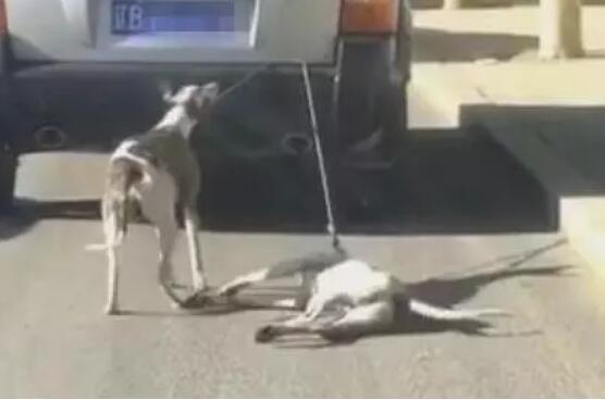 车主开车拖狗训练狗参加比赛 网友人肉车主去电指责
