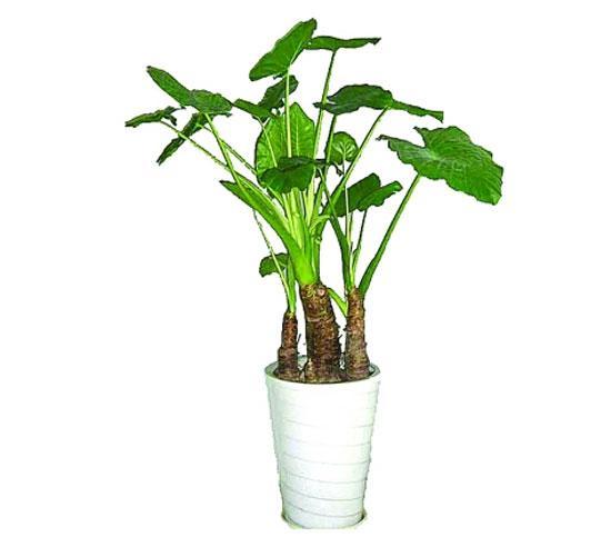 年底置办新花草 小心有毒绿植