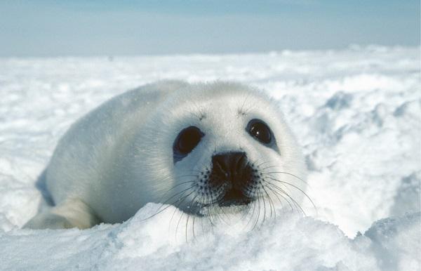 """魁北克玛德琳群岛 海豹的""""疯狂动物城"""""""