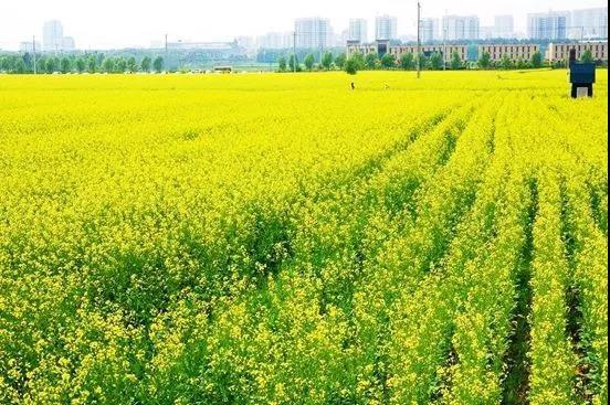游辽宁:端午节来了!辽宁最值得去的油菜花,看这里!