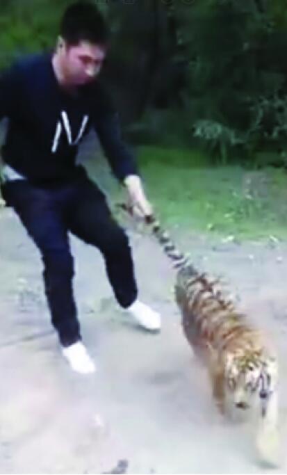 """抚顺一动物园小老虎""""越狱"""" 2分钟后被拖回"""