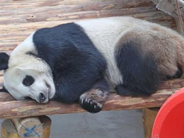 """大熊猫在沈阳的年夜饭将有""""八道菜"""""""