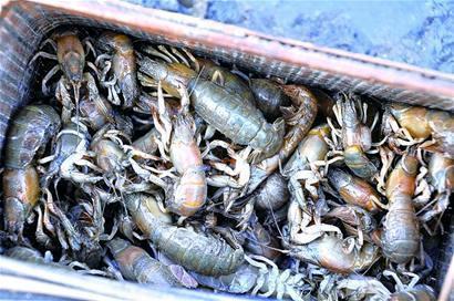 大连蝼蛄虾有点土腥味