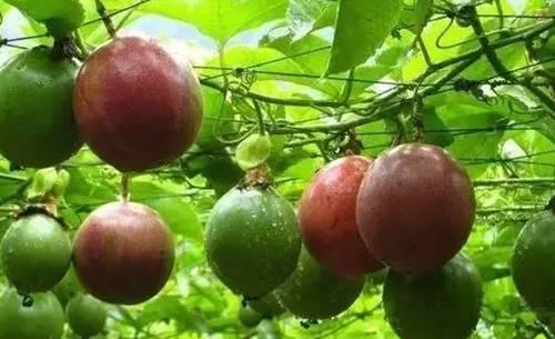 """水果中的""""药王""""!1个顶10个苹果"""