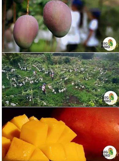 """""""北美巨林雀""""芒果,一颗好芒果的修行"""