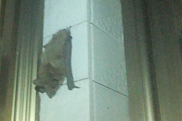 开原市民家中鸟在窗户上飞 蝙蝠在窗台上爬