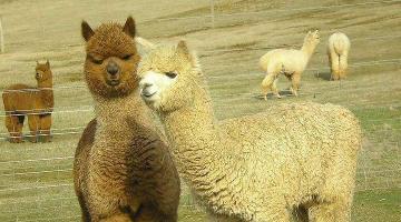 本溪一家三口组团偷羊驼!