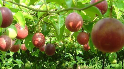 """吃的�r候注意""""嘴下留情"""",�@""""三�N""""水果自己在家里也能�N"""