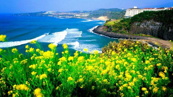 济州岛的清晨,阳光暖暖地洒下来,路边叶子早已褪色的芦苇群迎风而摆,绿丛环绕的山路上不时还能见到飘零着的落叶,随着车后旋风飞舞,初春时的景色竟是如此的动人。延绵几十里的海岸、如缎带般乡间小道其实济州岛原本就是一个天生丽质、清纯脱俗的女子,任何华丽的辞藻用在她身上都是多余的。   来岛上的游客大多都是情侣,济州岛有韩国的夏威夷之称,此美誉应该和在这里取景的很多韩剧大有关系。从《人鱼小姐》到《冬季恋歌》,从《大长今》到《我叫金三顺》,从《宫》到《我的女孩》韩剧中的男女主人公们在济州岛上演绎了太多