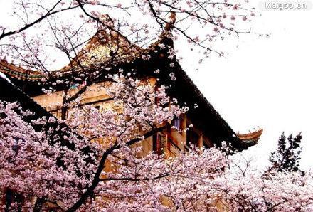 樱花树下 珞珈学子-武汉大学
