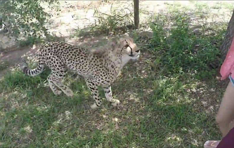 中国女游客南非遭豹子袭击 瞬间被扑倒跪地哭喊