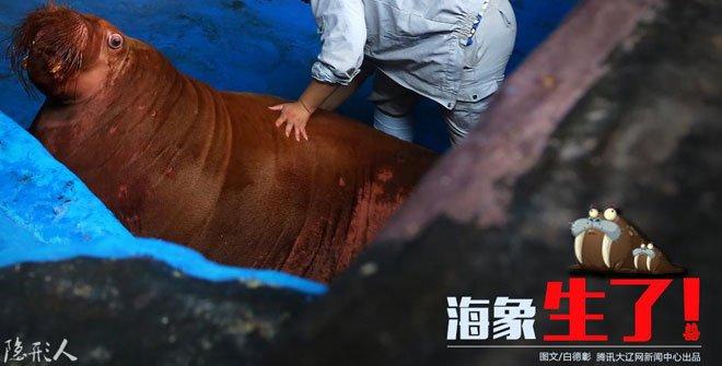 国内首例人工养殖海象顺利生宝宝