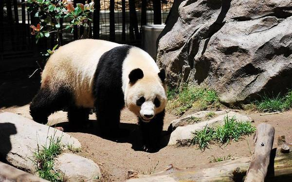 美国加州圣地亚哥动物园 圣地亚哥动物园是全球最大的动物园之一,拥有世界上最先进的管理设施,诸如猎豹、麝香牛等动物展示区人潮如织。由于占地辽阔,参观游客得乘坐巴士绕园参观;巴士分两层,可将四周的无尽原野风光一览无遗,需注意的是巴士并不经过园中人气最旺的熊猫区,因其展览位置在动物园的正中央,所以一定要劳驾双腿走路才能朝见这些从中国来的贵宾。由于熊猫实在太稀奇了,为了不过分打扰熊猫的生活起居,每天的展览时间只限三小时。