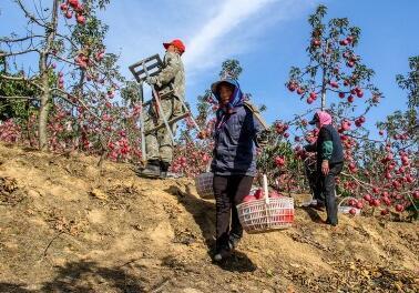 帮帮果农!辽宁丹东80万斤寒富苹果滞销