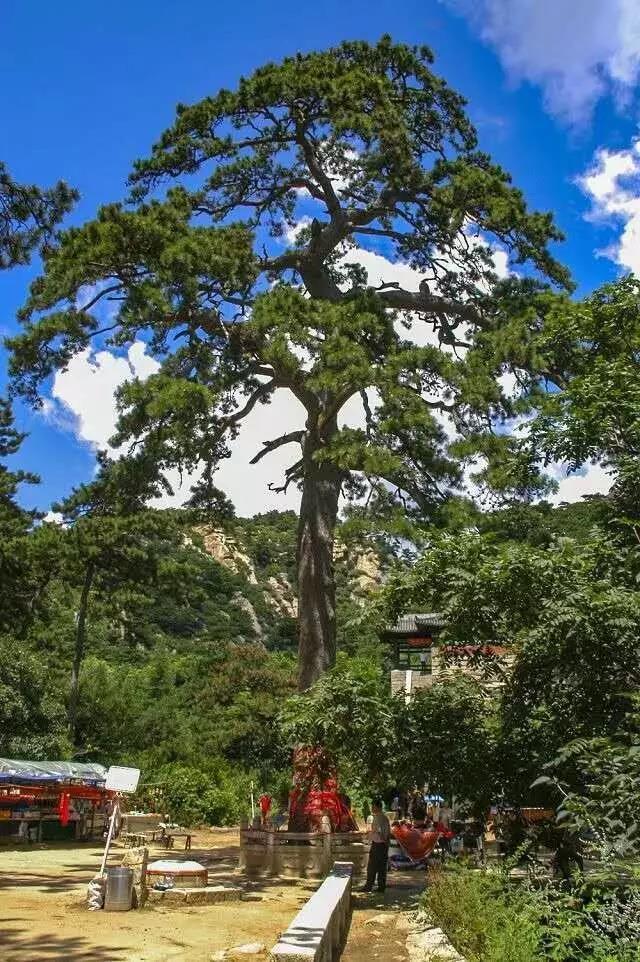 坐拥东北亚面积最大黑油松林的北镇,仅用这些松树就能分分钟迷死你!