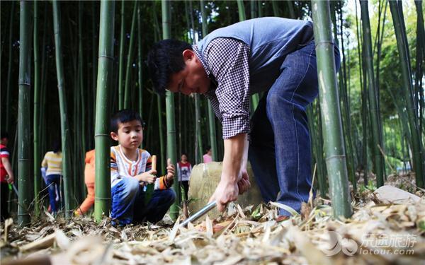 挖笋,现场有讲解员给大家介绍竹子的结构和生长过程.