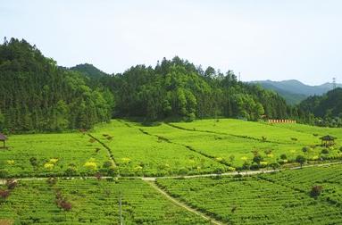 华莱公司:让黑茶走向世界