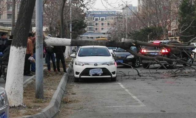 风太大根太浅 铁西大树被吹倒拦街横躺轿车遭殃