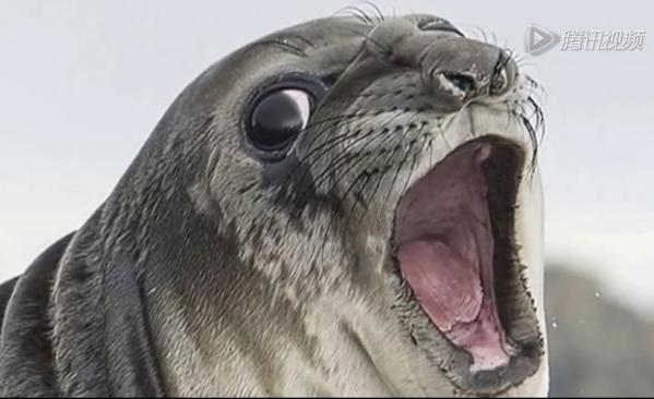 """海豹闯入企鹅领地遭""""爆菊""""疼得惨叫表情狰狞图片"""
