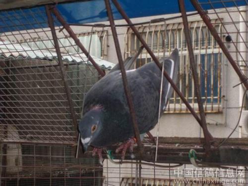 居民养鸽子粪便气味刺鼻 外出居民不敢回家