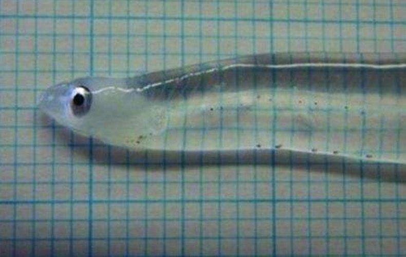 完全透明的鱼!连内脏都是透明的