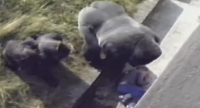"""小男孩掉进猩猩窝受伤 """"暖心""""猩猩出手保护"""