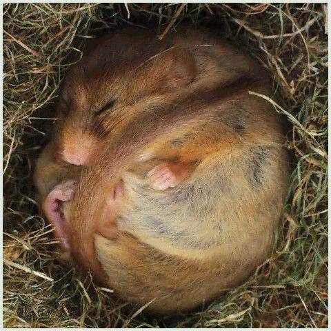 睡鼠是世界上冬眠时间最长的动物,也是最害羞的哺乳动物,它们的寿命
