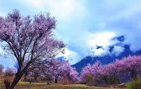 林芝桃花节近在咫尺 哪些地方的桃花有多又好看