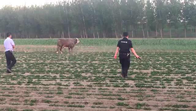 公牛发飙连撞2人 民警掏枪击毙