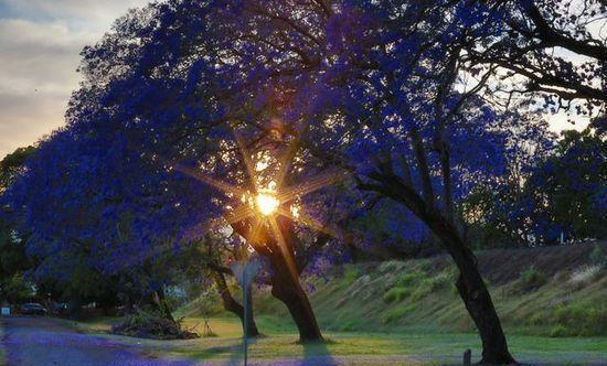 为时一个月的蓝色童话世界 就在澳大利亚的这座小镇