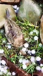 鸟妈护雏被冰雹砸死 感动网友接力养幼鸟