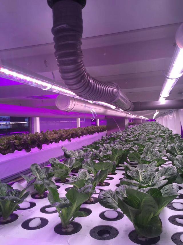 国内最大水耕植物工厂落户大连 高品质蔬菜即将上市