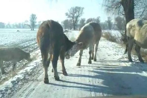 康平的哥被牛群拦路上 牛倌来解救