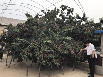 区18年树龄 大樱桃树王 单株产量上千斤图片