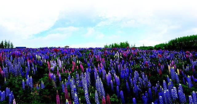 旅顺荒坡建成大连首个鲁冰花海 十万株花开得正盛