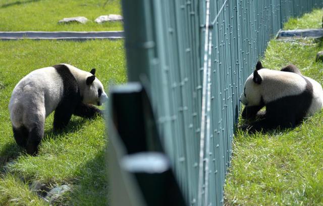 """当日,记者从沈阳森林动物园获悉,8个月前入驻动物园熊猫馆的""""三雌一"""