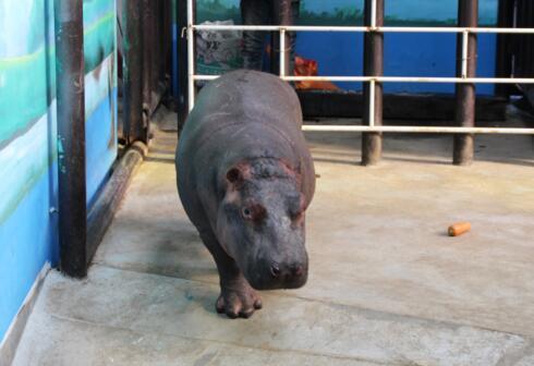 沈阳森林动物园河马馆里的新朋友
