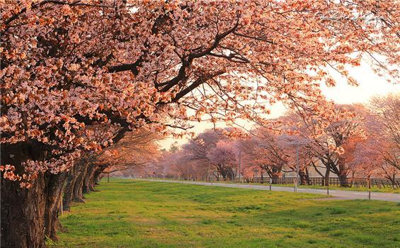 樱花 湖水 享受春季北海道的自然风光