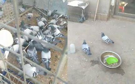 70多只鸽子全部被盗 价值200余万元