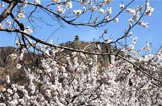 五月来大孤山看杏花 与花海来次美丽的邂逅吧