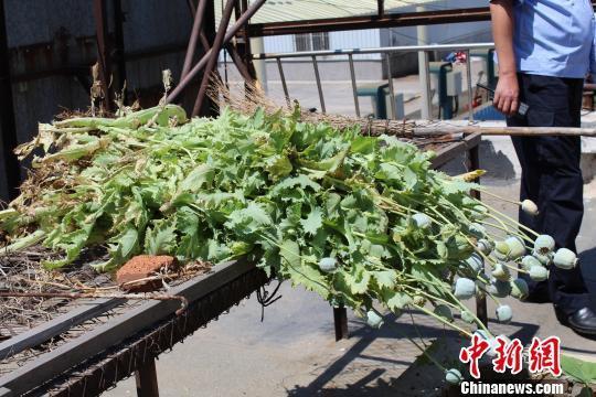 华东人家一老人种植64株罂粟 禁毒支队依法铲除